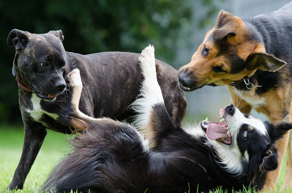 border collie 672696 960 720 - Hundepsychologie